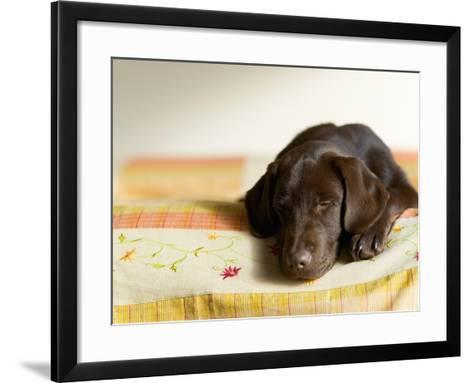 Chocolate Lab Puppy on Bed-Jim Craigmyle-Framed Art Print