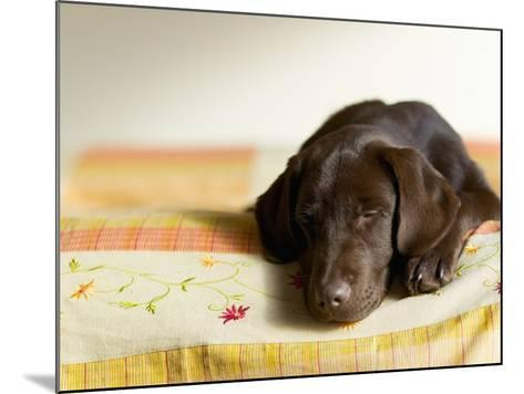 Chocolate Lab Puppy on Bed-Jim Craigmyle-Mounted Photographic Print