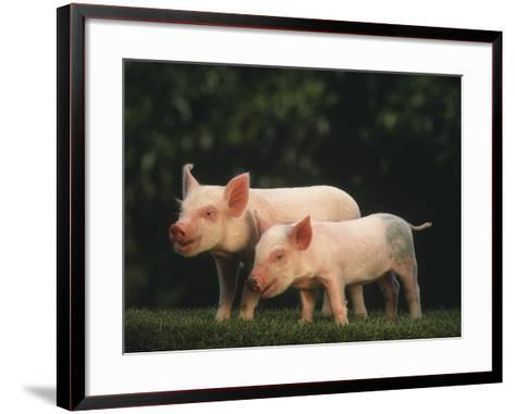 Yorkshire Piglets--Framed Art Print