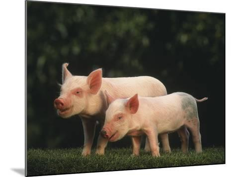 Yorkshire Piglets--Mounted Photographic Print