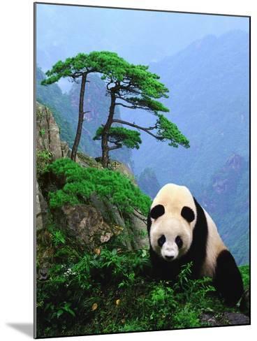 Giant Panda--Mounted Photographic Print