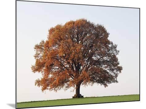 Oak Tree in Autumn-Frank Lukasseck-Mounted Photographic Print
