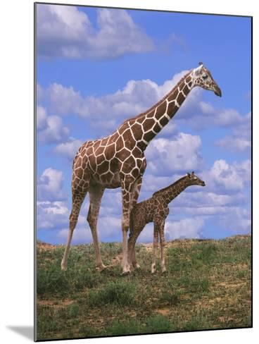 Reticulated Giraffe with Young--Mounted Photographic Print