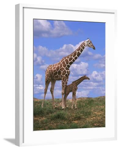 Reticulated Giraffe with Young--Framed Art Print