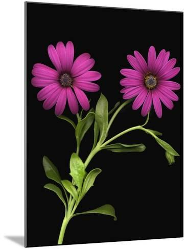 African Daisies--Mounted Photographic Print