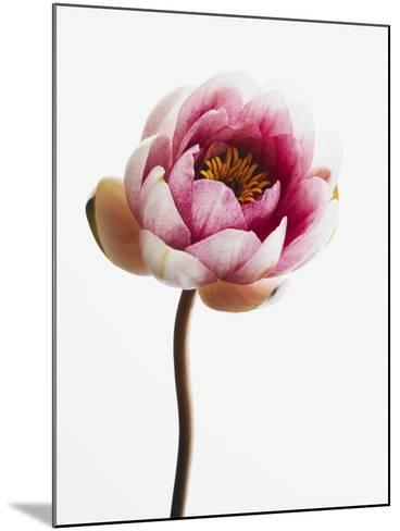 Water lily--Mounted Photographic Print