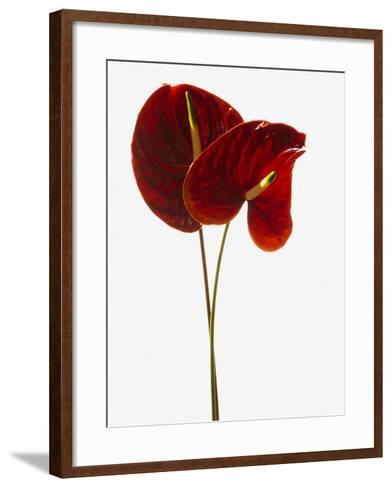 Anthurium--Framed Art Print