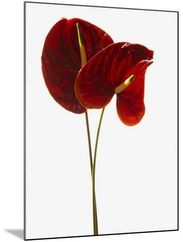 Anthurium--Mounted Photographic Print