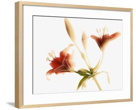 Asiatic lily--Framed Art Print