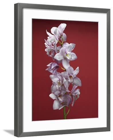 Cattleya orchid--Framed Art Print