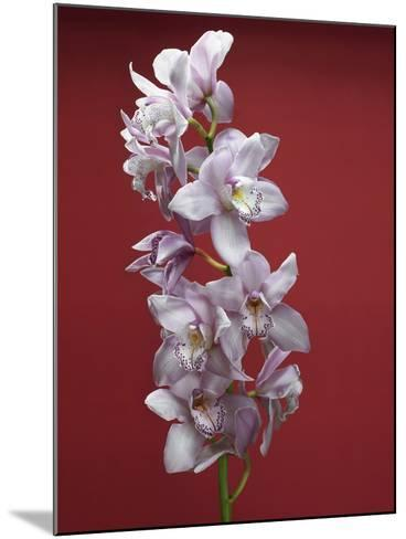 Cattleya orchid--Mounted Photographic Print