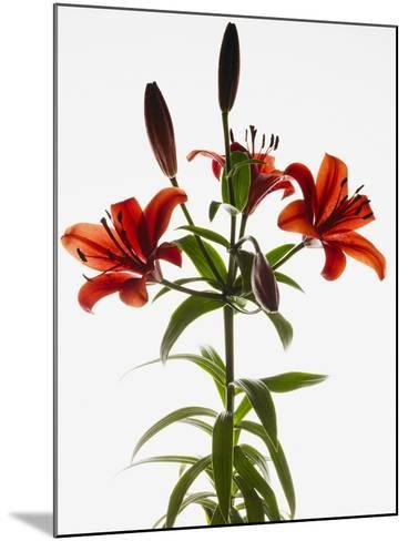 Asiatic lily--Mounted Photographic Print