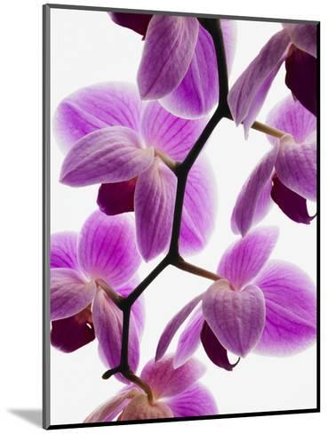 Phalaenopsis orchids--Mounted Photographic Print