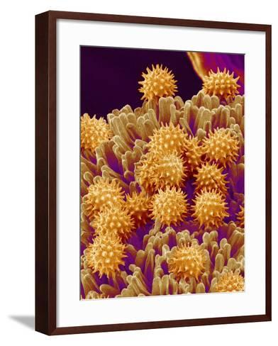 Pollen on Pistil of Cosmos-Micro Discovery-Framed Art Print