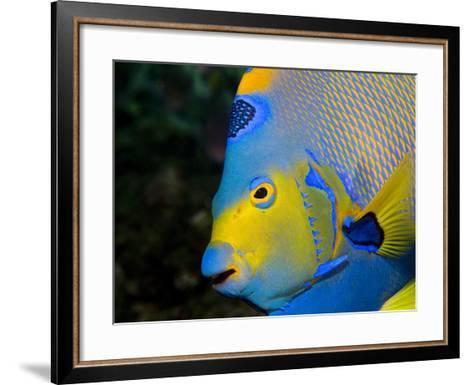 Queen Angelfish (Holacanthus Ciliaris)-Stephen Frink-Framed Art Print