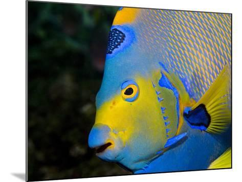 Queen Angelfish (Holacanthus Ciliaris)-Stephen Frink-Mounted Photographic Print