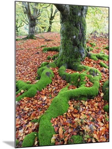Moss Covered Roots Surrounded by Leaves-Frank Lukasseck-Mounted Photographic Print