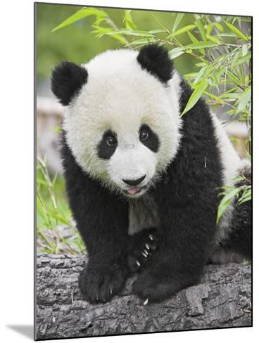 Baby Giant Panda-Frank Lukasseck-Mounted Photographic Print