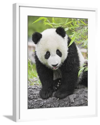 Baby Giant Panda-Frank Lukasseck-Framed Art Print