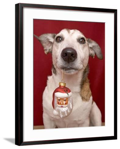 Jack Russell Terrier Holding Christmas Ornament-Ursula Klawitter-Framed Art Print