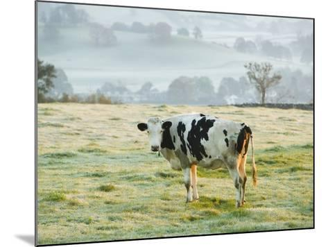 Friesen Cow Standing in Pasture-Ashley Cooper-Mounted Photographic Print