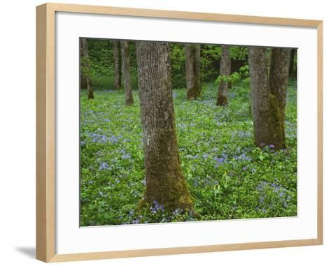 Sweet William Phlox and Yellow Trillium Blooming on Forest Floor-William Manning-Framed Art Print