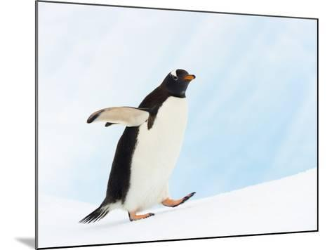 Gentoo Penguin on Iceberg in Gerlache Strait-John Eastcott & Yva Momatiuk-Mounted Photographic Print