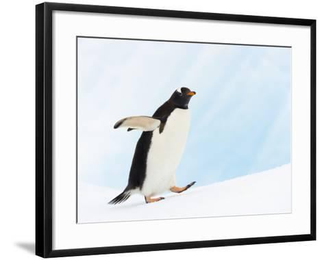 Gentoo Penguin on Iceberg in Gerlache Strait-John Eastcott & Yva Momatiuk-Framed Art Print