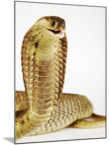 Snouted Cobra-Martin Harvey-Mounted Photographic Print