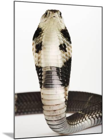 Chinese Cobra-Martin Harvey-Mounted Photographic Print