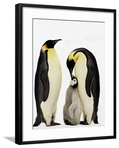 Emperor Penguins Feeding Chick-John Conrad-Framed Art Print