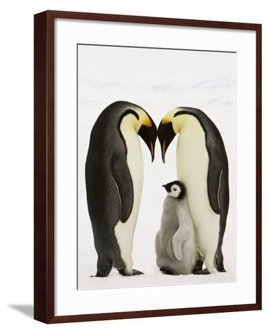 Emperor Penguins Protecting Chick-John Conrad-Framed Art Print