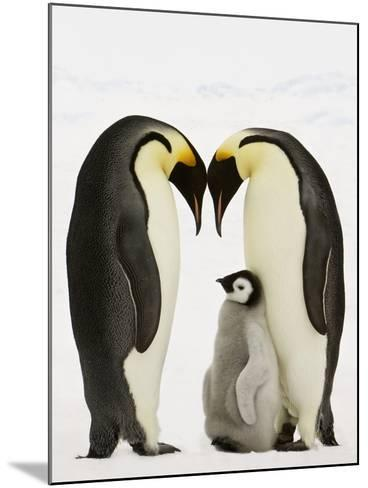 Emperor Penguins Protecting Chick-John Conrad-Mounted Photographic Print