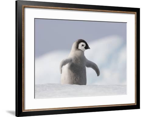Emperor Penguin Chick in Antarctica-Paul Souders-Framed Art Print