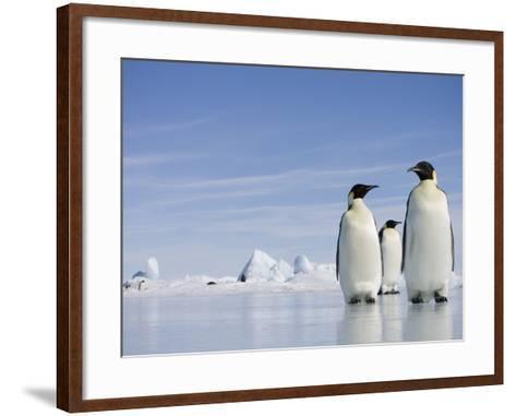 Emperor Penguins in Antarctica-Paul Souders-Framed Art Print