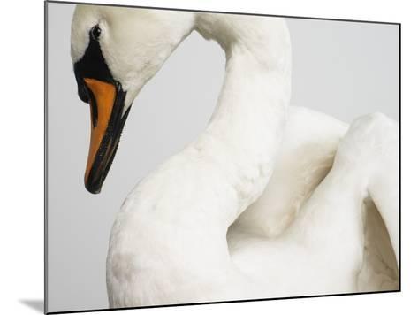 Mounted Swan-J^ James-Mounted Photographic Print