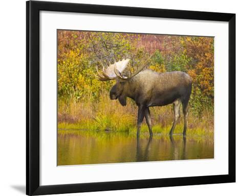 Moose Bull in Pond in Alaska-John Eastcott & Yva Momatiuk-Framed Art Print