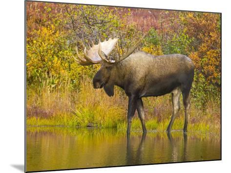 Moose Bull in Pond in Alaska-John Eastcott & Yva Momatiuk-Mounted Photographic Print