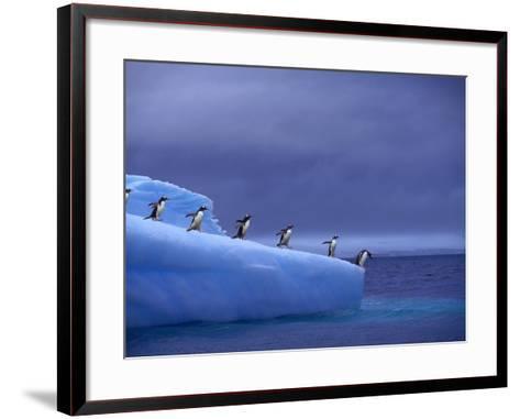 Gentoo Penguins on Iceberg--Framed Art Print