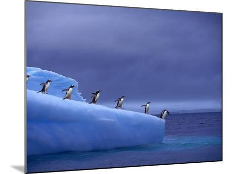 Gentoo Penguins on Iceberg--Mounted Photographic Print