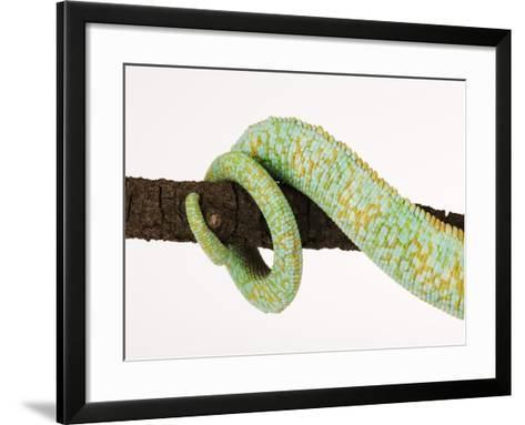 Veiled Chameleon Tail Wrapped Around Twig-Martin Harvey-Framed Art Print