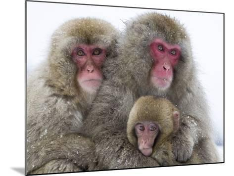 Japanese Macaque Family-Frank Lukasseck-Mounted Photographic Print