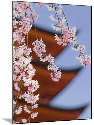 Cherry Blossoms at Itsukushima Jinja Shrine-Rudy Sulgan-Mounted Photographic Print