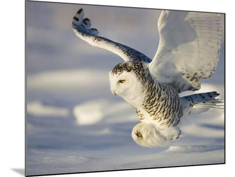 Snowy Owl in Flight Hunting-Theo Allofs-Mounted Photographic Print