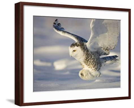 Snowy Owl in Flight Hunting-Theo Allofs-Framed Art Print