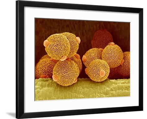 Geranium pollen in anther-Micro Discovery-Framed Art Print