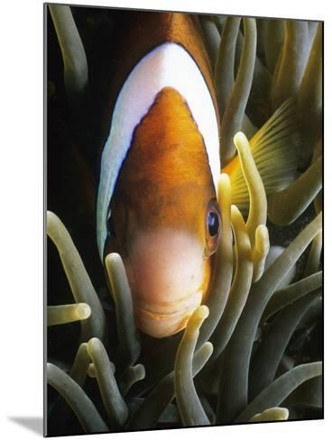 Barrier Reef Anemonefish in Lembeh Strait-Jeffrey Rotman-Mounted Photographic Print