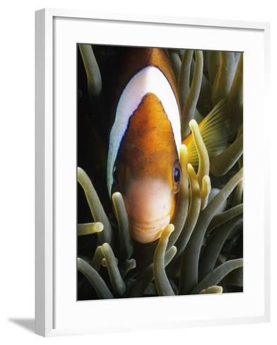 Barrier Reef Anemonefish in Lembeh Strait-Jeffrey Rotman-Framed Art Print