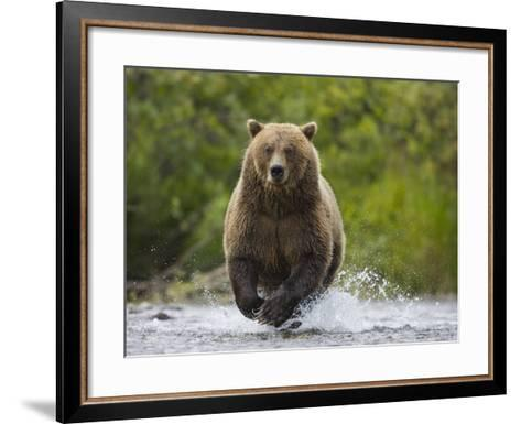 Brown bear running to catch salmon in a river-Theo Allofs-Framed Art Print