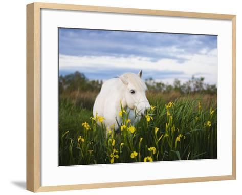 Camargue horse grazing on yellow iris-Theo Allofs-Framed Art Print